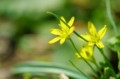 佐渡 小さな黄色い花
