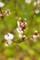 佐渡 苔梅に花咲き始め