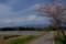佐渡 水田と桜の景色