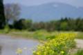 佐渡 黄色い花で彩られた道