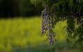 佐渡 藤の花のある風景