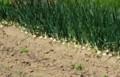 佐渡 ネギ畑