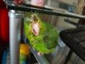 マメルリハ:パンクヘアーのきーちゃん