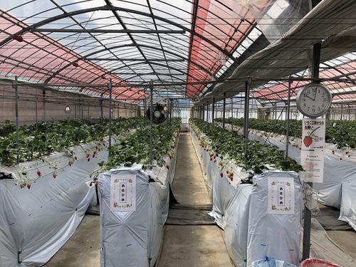 イチゴ栽培場所