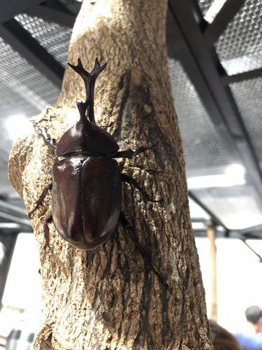 大昆虫展のカブトムシ