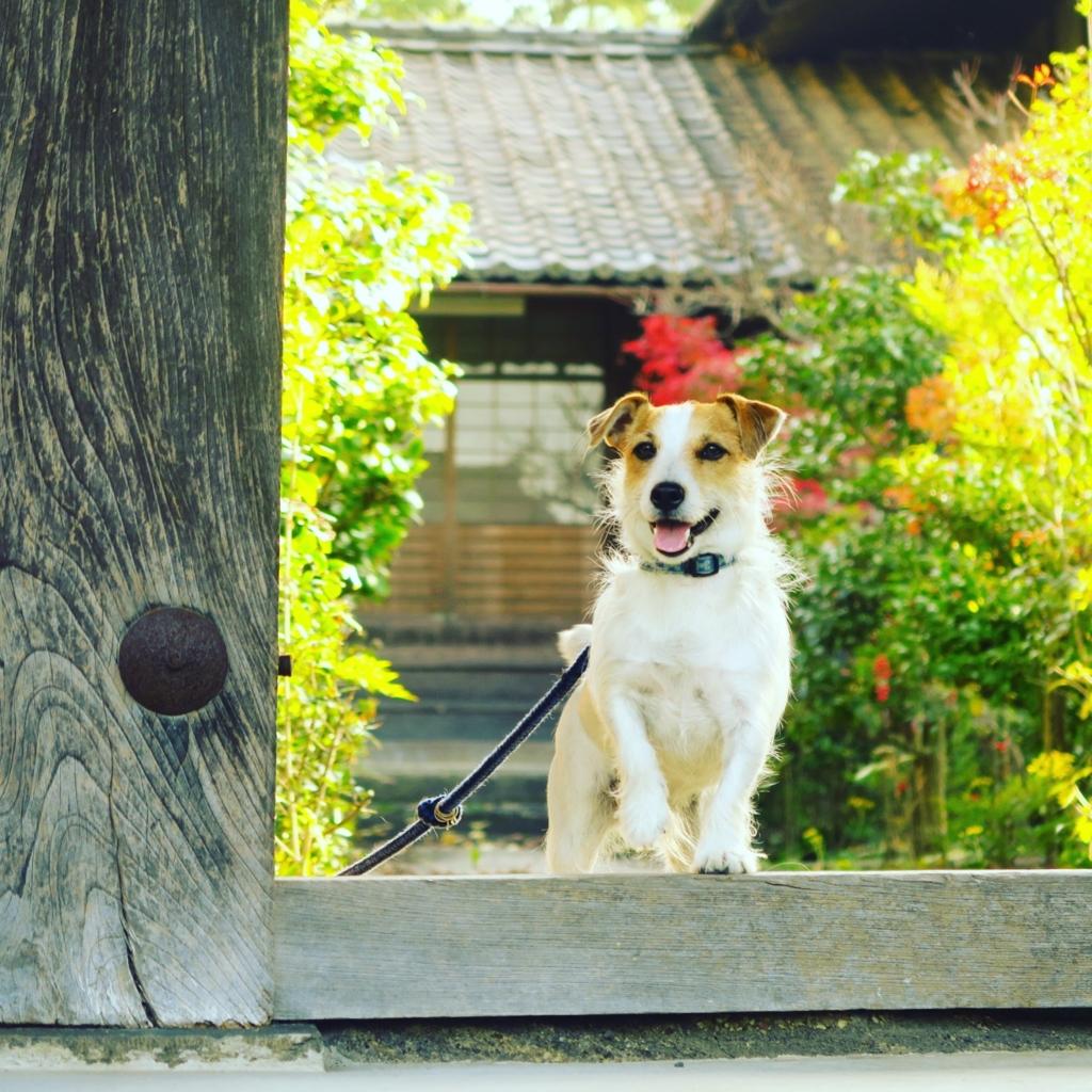 かわいいお寺の犬
