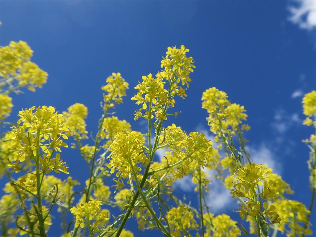 スペイン・サンティアゴ巡礼道の菜の花