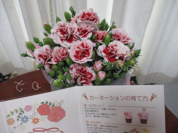 カーネーション・母の日・母の日プレゼント