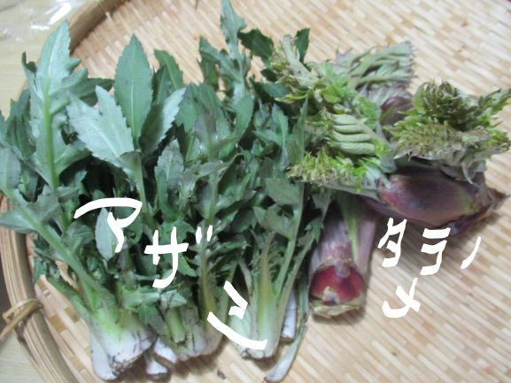 アザミ・タラの芽