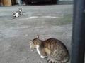 フィリピン 裏庭の猫
