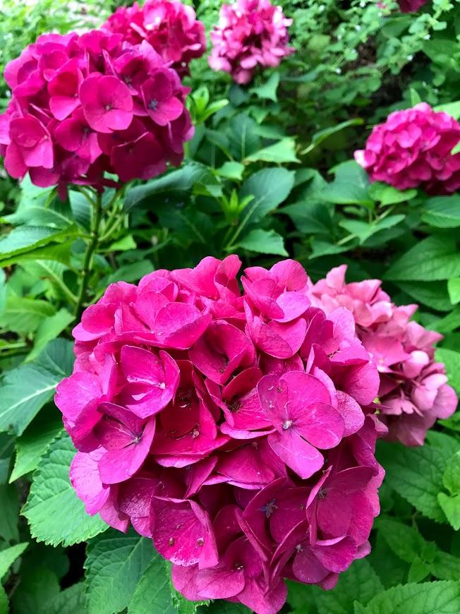 ぶどうの樹 紫陽花