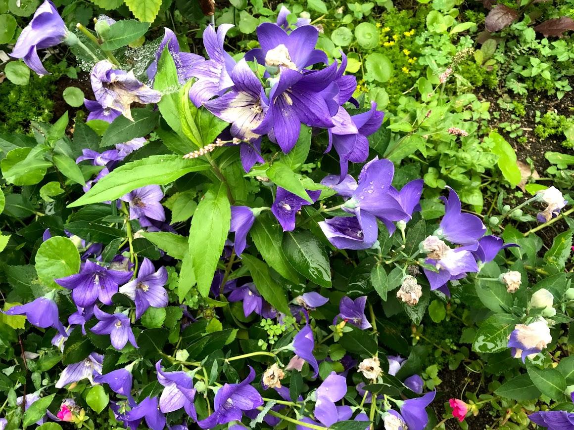 ぶどうの樹 花