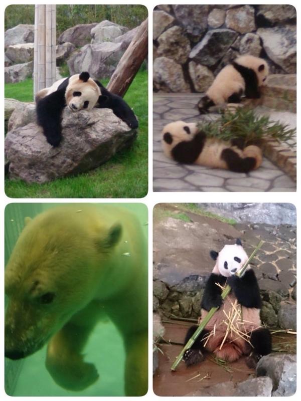 パンダ観覧。の画像