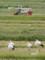 京都新聞写真コンテストコウノトリ湖北に飛来