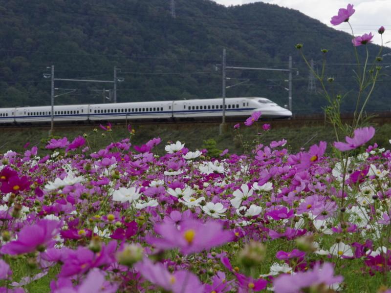 京都新聞写真コンテスト コスモス沿線