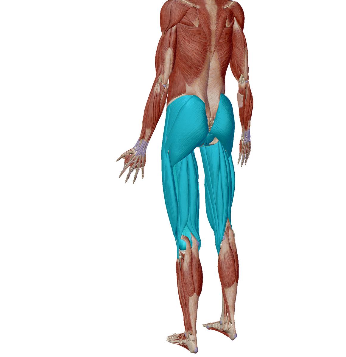 大腿部、お尻、筋肉、鍛える