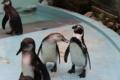 脱走ペンギンは真ん中のボク