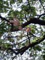 芸大の八重桜