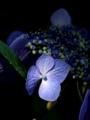 京都新聞写真コンテスト :花言葉は「謙虚」