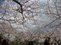 須磨寺公園にて花見