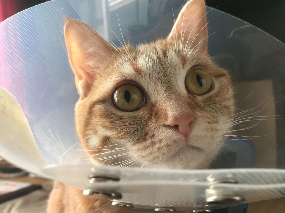 鼻が赤くなくなった猫