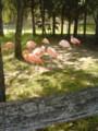 旭山動物園のフラミンゴ