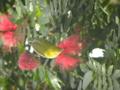 ブラシアカバナ