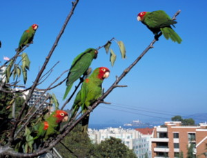The Wild Parrots of Telegraph ...