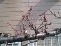 陽当たりのよくない所の梅は、まだつぼみ。