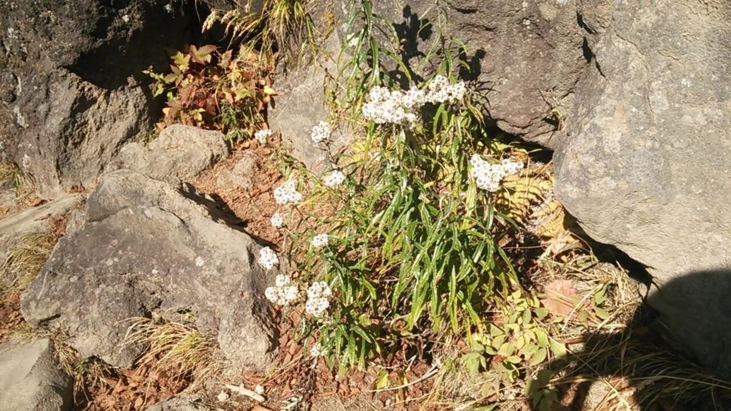 七合目の花