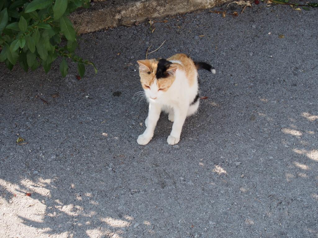 スロベニアのネコ
