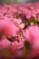 [花][Nikkor][AFS24-70mmF2.8GED]ピンクつつじ