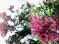 [花]サルスベリ