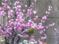 梅に鶯(嘘)