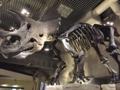 化石トリケラトプス