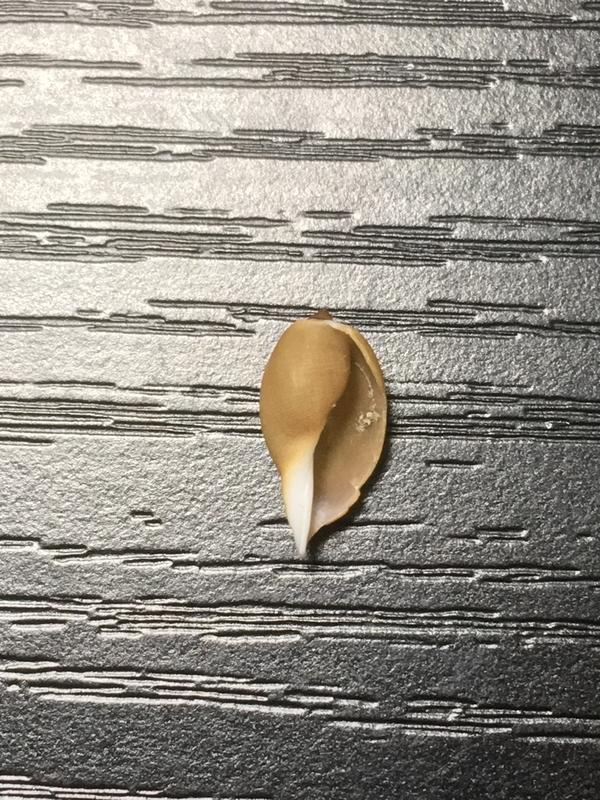 ナシジダカラ幼貝
