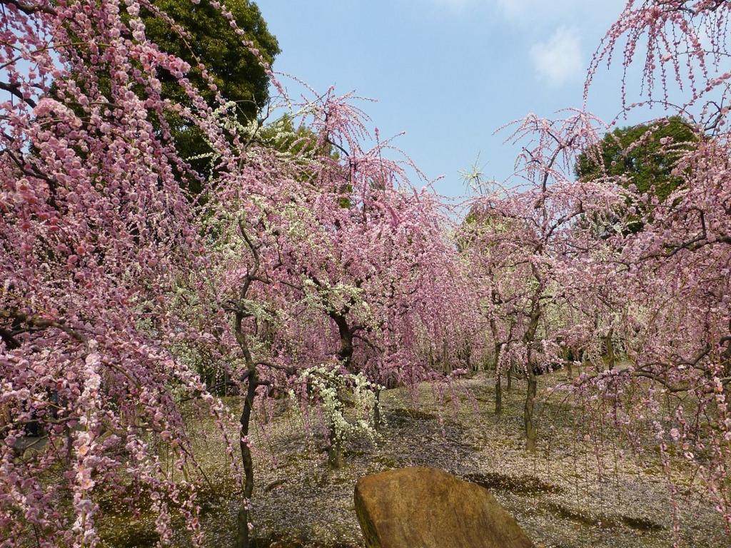 【左京区 不動産】枝垂梅と椿まつりに行こう
