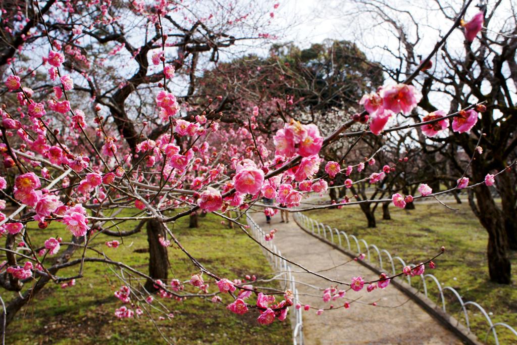 【左京区 不動産】梅花祭に行こう