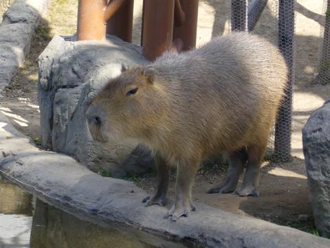 カピバラさん@旭山動物園