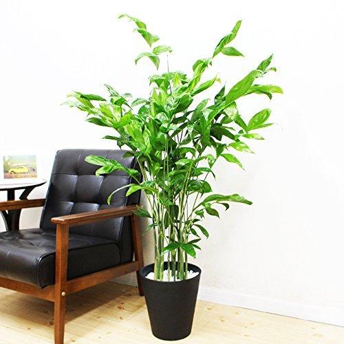 チャメドレア セラアート鉢の観葉植物