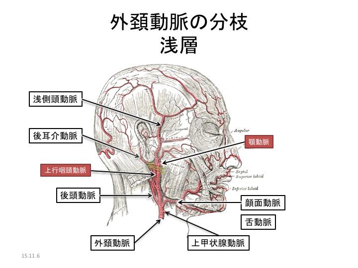動脈 ゴロ 頸 外 血管の分枝・走行の違い|覚え方・ゴロ合わせ|医学的見地から