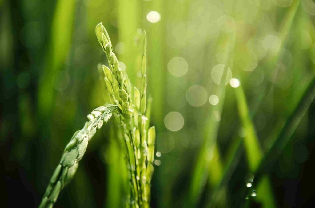 日本酒のお米の種類|theDANN