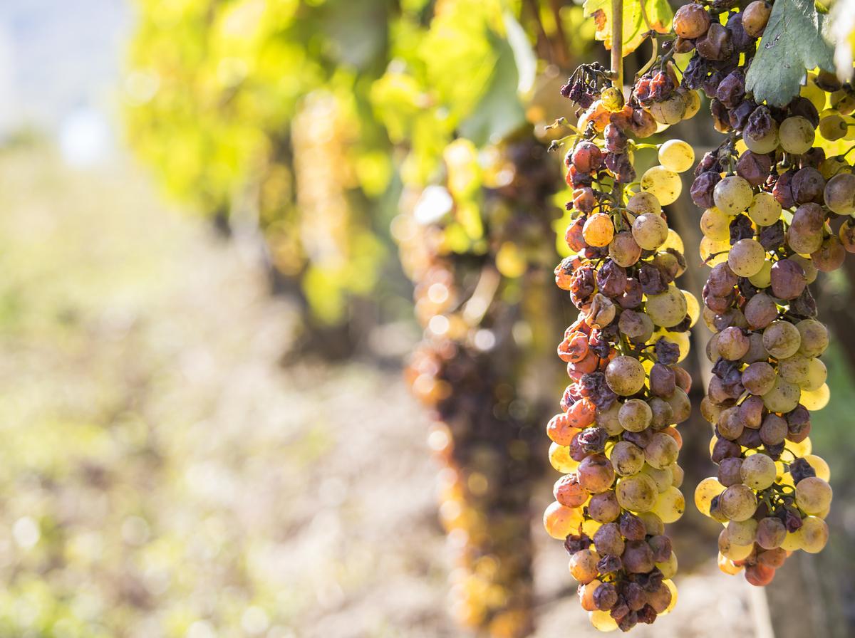 貴腐ワインの造り方について|theDANN media