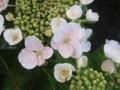 [花]あじさい