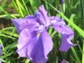 [花]菖蒲