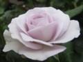 [花]紫のバラ