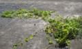 [植物]ゴーヤ茎