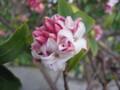 [花]沈丁花