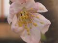 [花]さくらんぼ花
