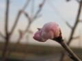 [花]さくらんぼ蕾柔